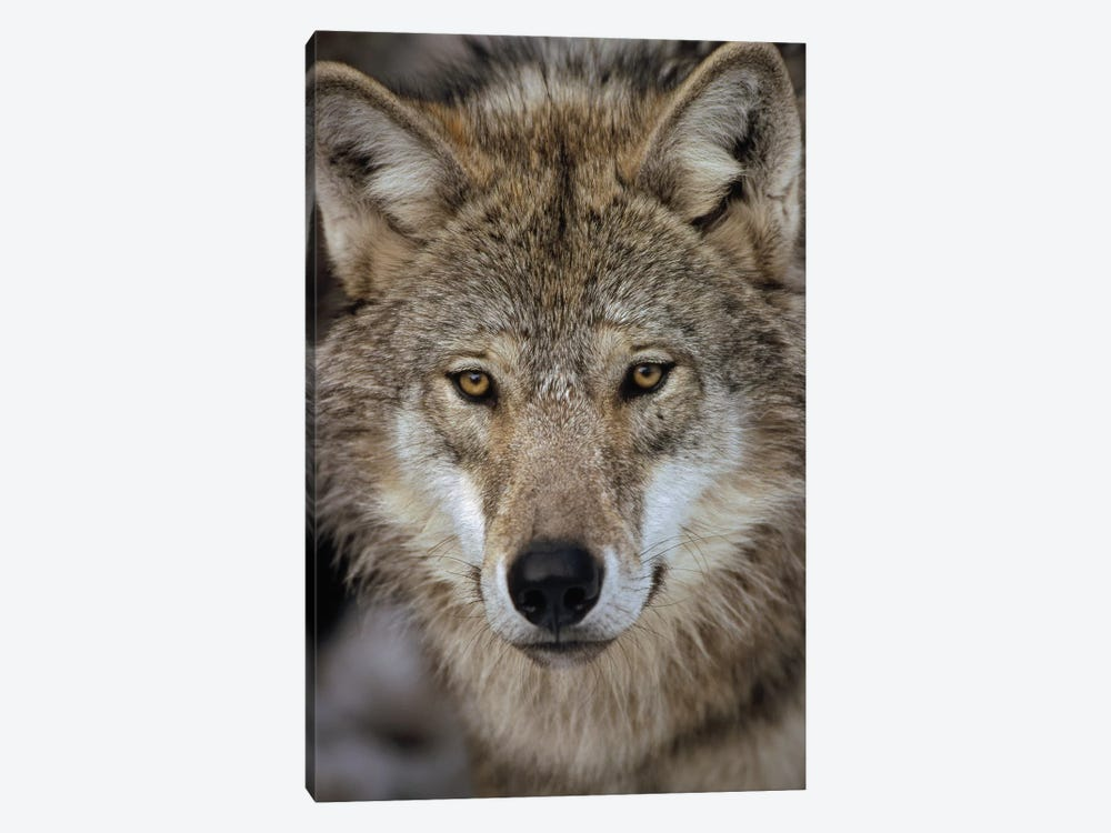 European Wolf Portrait, Sweden by Konrad Wothe 1-piece Canvas Art Print