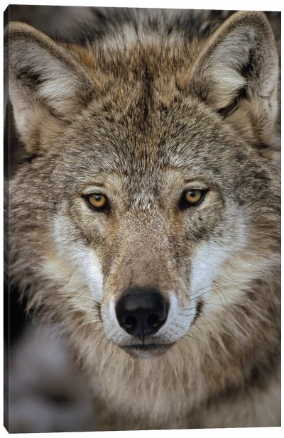 European Wolf Portrait, Sweden Canvas Art Print