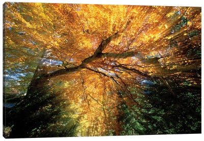 Golden-Colored Autumn Foliage, Abstract Canvas Art Print