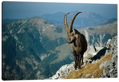 Alpine Ibex Male With Swiss Alps In Background, Europe Canvas Art Print