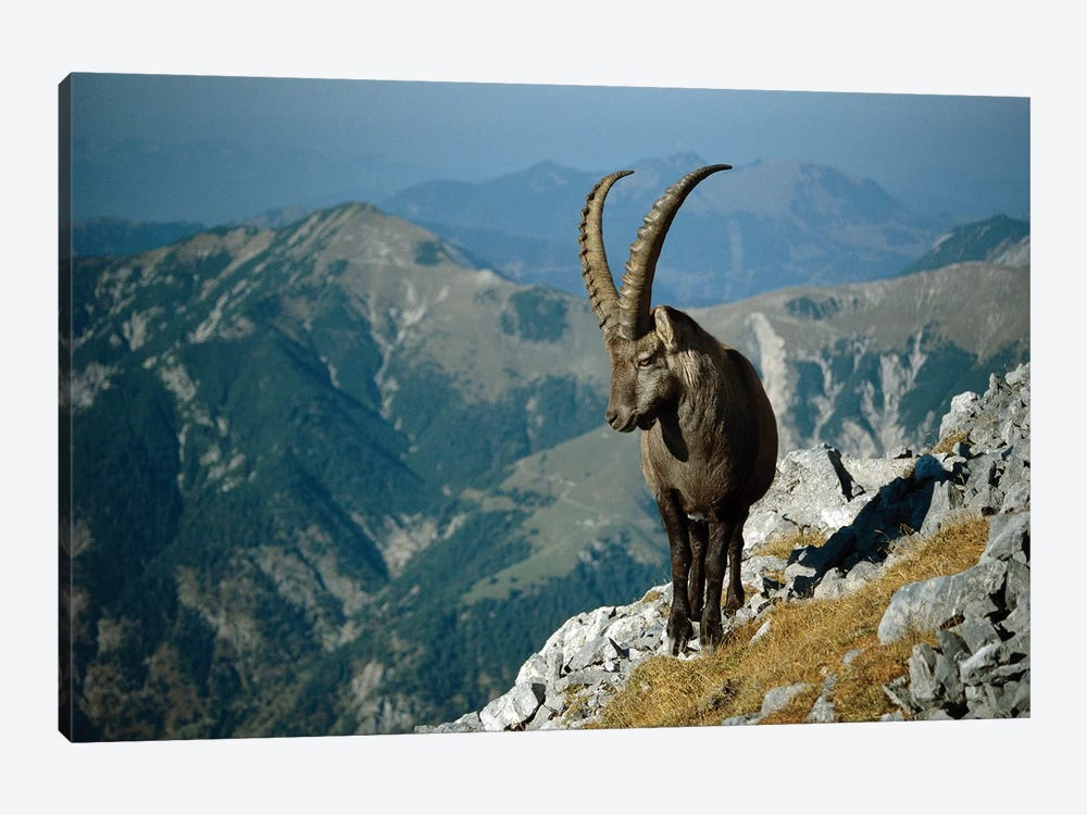 Alpine Ibex Male With Swiss Alps In Background, Europe by Konrad Wothe 1-piece Canvas Print