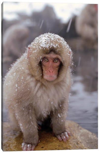 Japanese Macaque In Hot Springs, Japanese Alps, Nagano, Japan Canvas Art Print