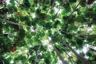 Canvas & Licuala Fan Palm Canopy Daintree National Park...   Konrad Wothe ...