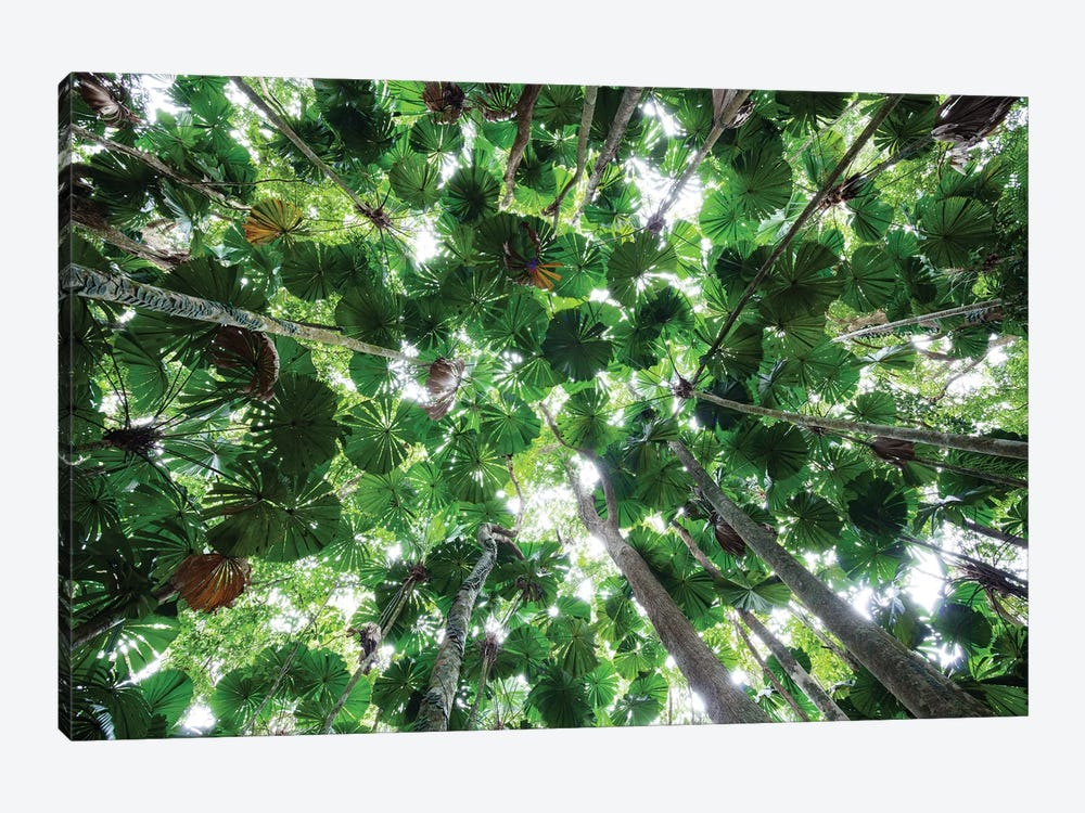 Licuala Fan Palm Canopy, Daintree National Park, Queensland, Australia by Konrad Wothe 1-piece Canvas Art Print