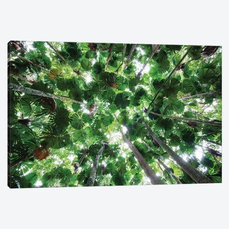 Licuala Fan Palm Canopy, Daintree National Park, Queensland, Australia Canvas Print #WOT31} by Konrad Wothe Canvas Art