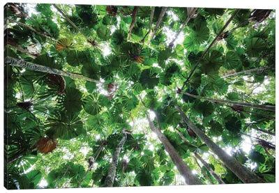 Licuala Fan Palm Canopy, Daintree National Park, Queensland, Australia Canvas Art Print