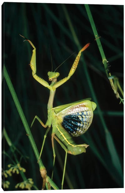 Mediterranean Mantis Female In Defensive Display, Spain Canvas Art Print