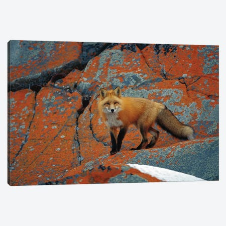 Red Fox On Rocks With Orange Lichen, Churchill, Canada Canvas Print #WOT33} by Konrad Wothe Canvas Artwork