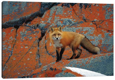Red Fox On Rocks With Orange Lichen, Churchill, Canada Canvas Art Print
