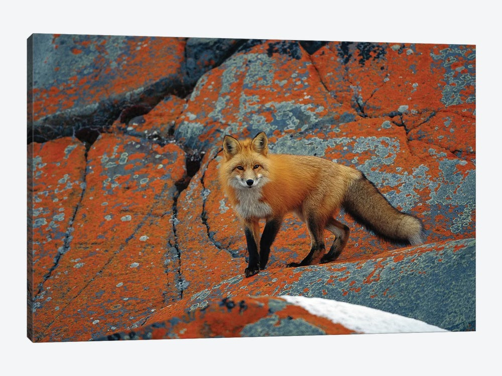 Red Fox On Rocks With Orange Lichen, Churchill, Canada by Konrad Wothe 1-piece Canvas Art Print