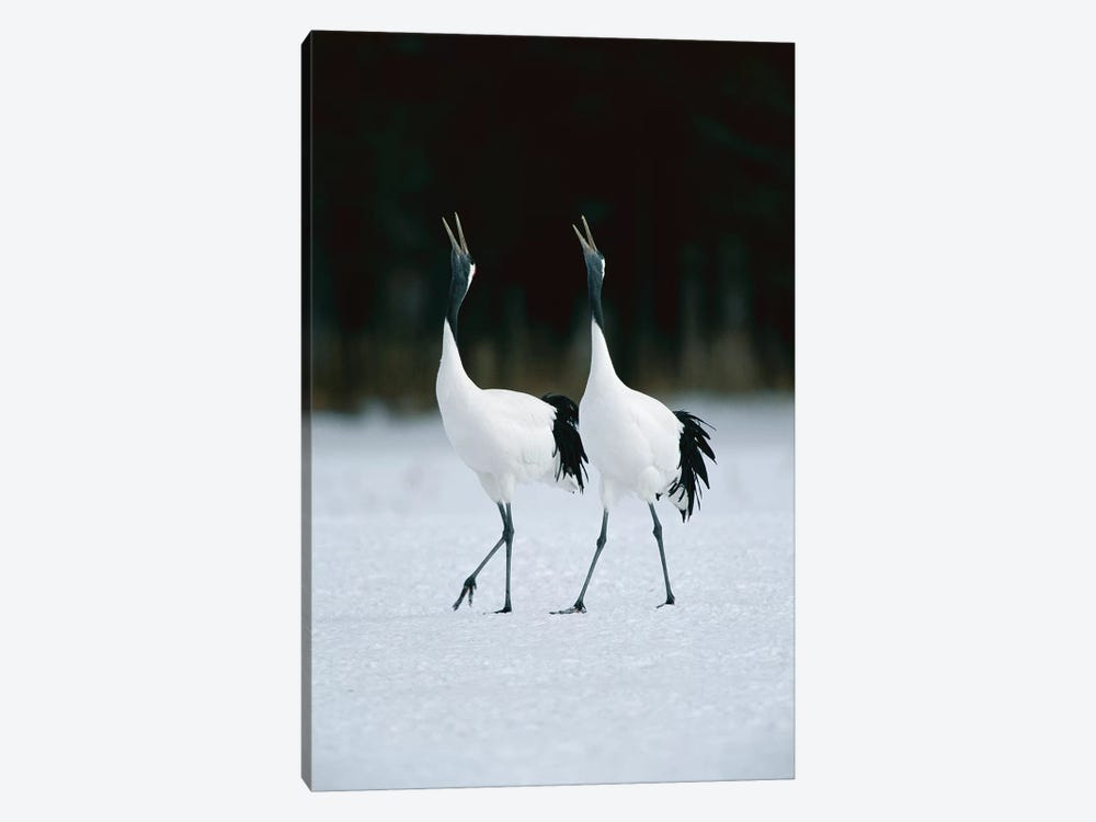 Red-Crowned Crane Pair Calling During Courtship Dance At Their Wintering Grounds, Hokkaido, Japan by Konrad Wothe 1-piece Canvas Art