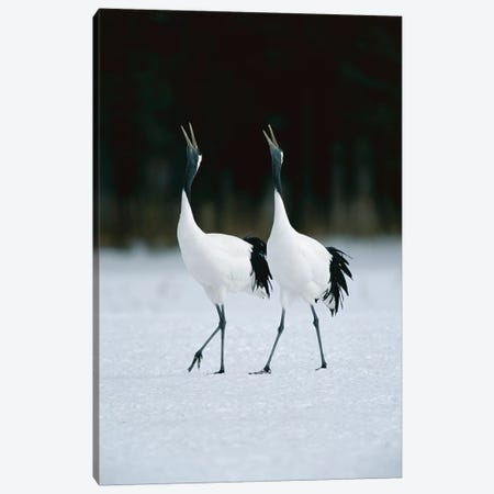Red-Crowned Crane Pair Calling During Courtship Dance At Their Wintering Grounds, Hokkaido, Japan Canvas Print #WOT34} by Konrad Wothe Art Print