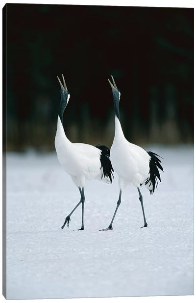 Red-Crowned Crane Pair Calling During Courtship Dance At Their Wintering Grounds, Hokkaido, Japan Canvas Art Print