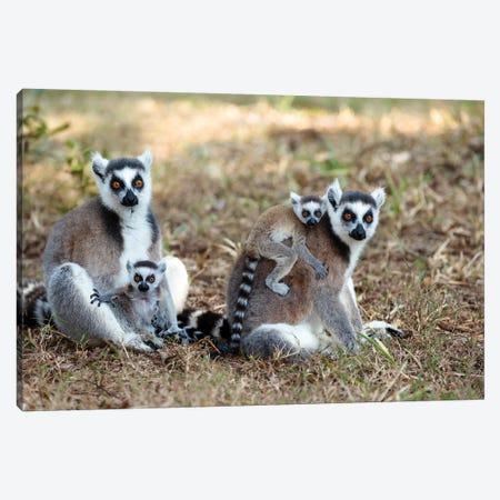 Ring-Tailed Lemur Mothers With Young, Nahampoana Reserve, Madagascar Canvas Print #WOT36} by Konrad Wothe Art Print