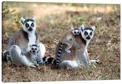 Ring-Tailed Lemur Mothers With Young, Nahampoana Reserve, Madagascar Canvas Art Print