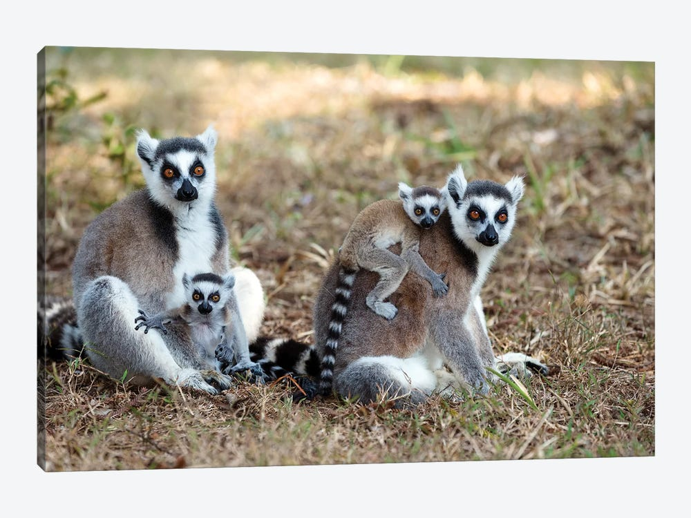 Ring-Tailed Lemur Mothers With Young, Nahampoana Reserve, Madagascar by Konrad Wothe 1-piece Canvas Wall Art