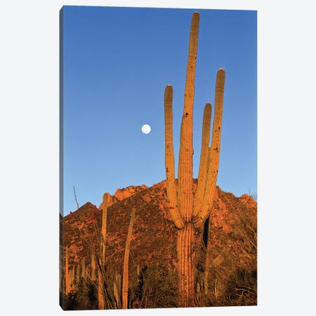 Saguaro Cactus In Desert Landscape, Sonoran Desert, Saguaro National Monument, Arizona Canvas Print #WOT37} by Konrad Wothe Art Print
