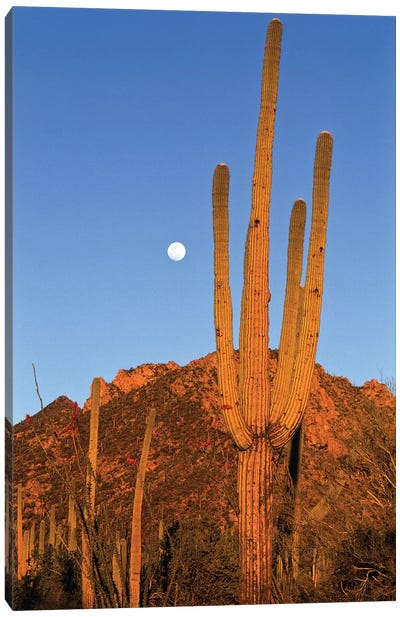 Saguaro Cactus In Desert Landscape, Sonoran Desert, Saguaro National Monument, Arizona Canvas Art Print