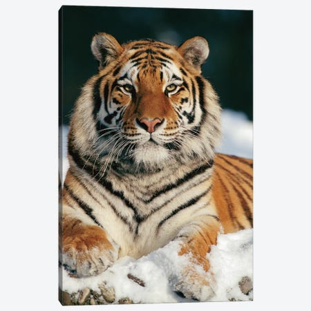 Siberian Tiger In Snow, Siberian Tiger Park, Harbin, China Canvas Print #WOT38} by Konrad Wothe Canvas Wall Art