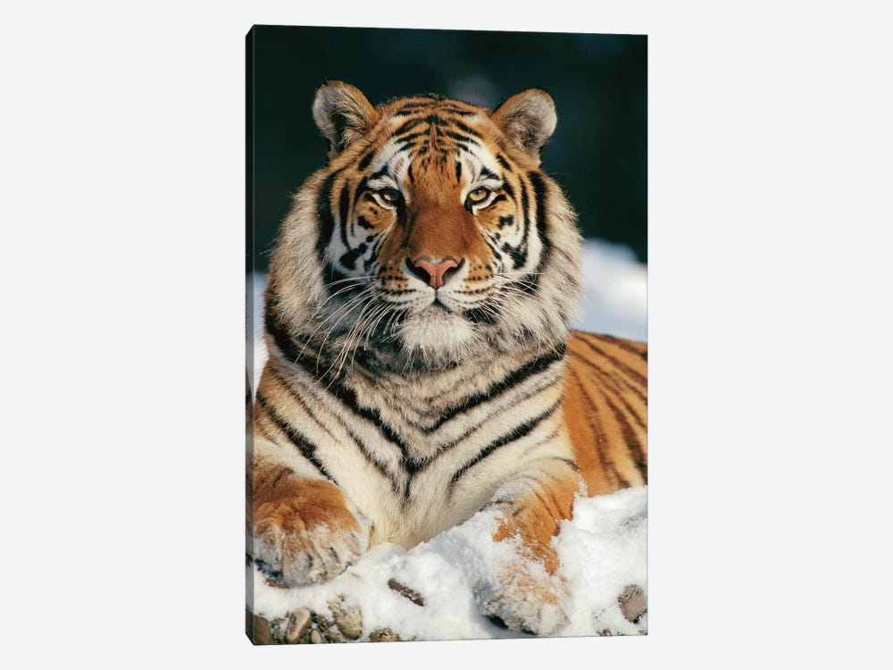 Siberian Tiger In Snow, Siberian Tiger Park, Harbin, China by Konrad Wothe 1-piece Canvas Artwork