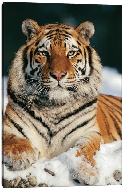 Siberian Tiger In Snow, Siberian Tiger Park, Harbin, China Canvas Art Print