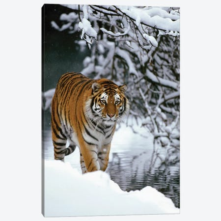 Siberian Tiger Walking In Snow, Siberian Tiger Park, Harbin, China Canvas Print #WOT39} by Konrad Wothe Canvas Art