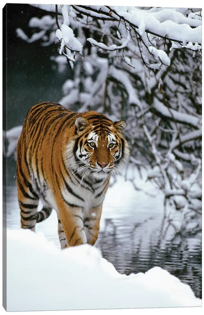 Siberian Tiger Walking In Snow, Siberian Tiger Park, Harbin, China Canvas Art Print