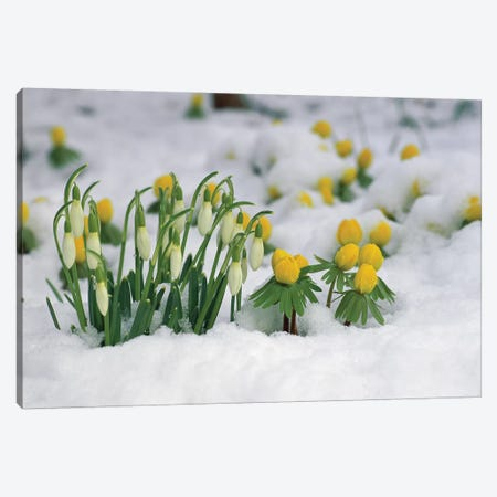Snowdrop Flowers Blooming In Snow, Germany Canvas Print #WOT40} by Konrad Wothe Canvas Print