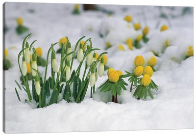 Snowdrop Flowers Blooming In Snow, Germany Canvas Art Print
