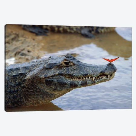 Spectacled Caiman With Orange Butterfly Perched On Tip Of Snout, Pantanal, Mato Grosso, Brazil Canvas Print #WOT41} by Konrad Wothe Canvas Print
