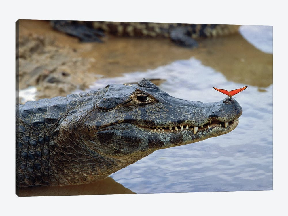 Spectacled Caiman With Orange Butterfly Perched On Tip Of Snout, Pantanal, Mato Grosso, Brazil by Konrad Wothe 1-piece Canvas Artwork