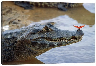 Spectacled Caiman With Orange Butterfly Perched On Tip Of Snout, Pantanal, Mato Grosso, Brazil Canvas Art Print