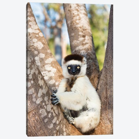 Verreaux's Sifaka Juvenile, Berenty Reserve, Madagascar Canvas Print #WOT43} by Konrad Wothe Art Print