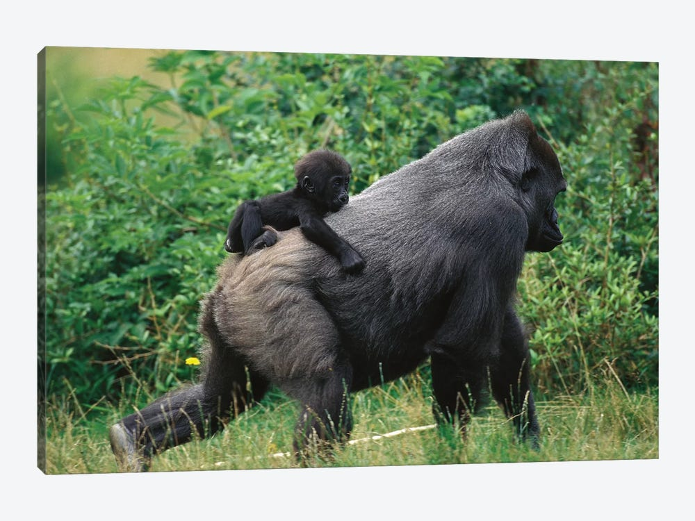 Western Lowland Gorilla Male Carrying Baby, Central Africa by Konrad Wothe 1-piece Canvas Artwork