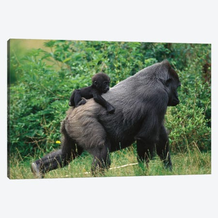 Western Lowland Gorilla Male Carrying Baby, Central Africa Canvas Print #WOT45} by Konrad Wothe Canvas Artwork