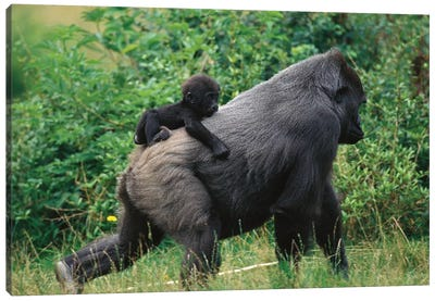 Western Lowland Gorilla Male Carrying Baby, Central Africa Canvas Art Print