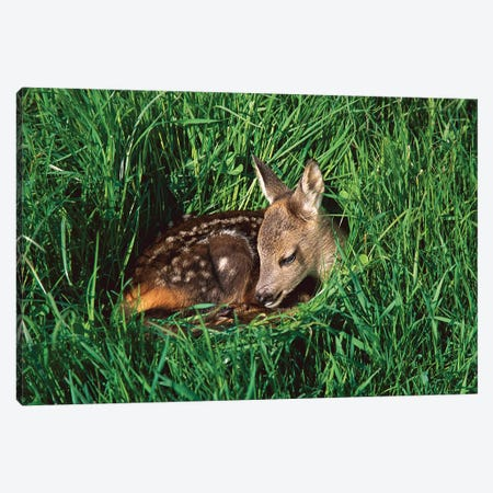 Western Roe Deer Fawn Resting In Green Grass, Germany Canvas Print #WOT46} by Konrad Wothe Canvas Wall Art