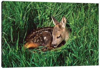 Western Roe Deer Fawn Resting In Green Grass, Germany Canvas Art Print