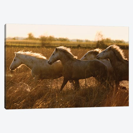 Camargue Horses Running At Sunset, Camargue, France Canvas Print #WOT48} by Konrad Wothe Canvas Art Print