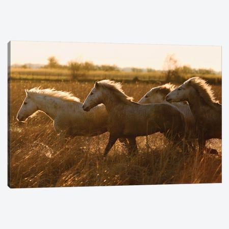 Camargue Horses Running At Sunset, Camargue, France Canvas Print #WOT48} by Konrad Wothe Canvas Art Print