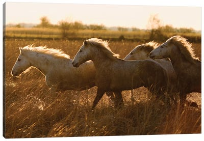 Camargue Horses Running At Sunset, Camargue, France Canvas Art Print