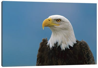 Bald Eagle Profile, North America Canvas Art Print