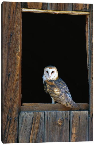 Barn Owl Perching On Barn Window, North America Canvas Art Print