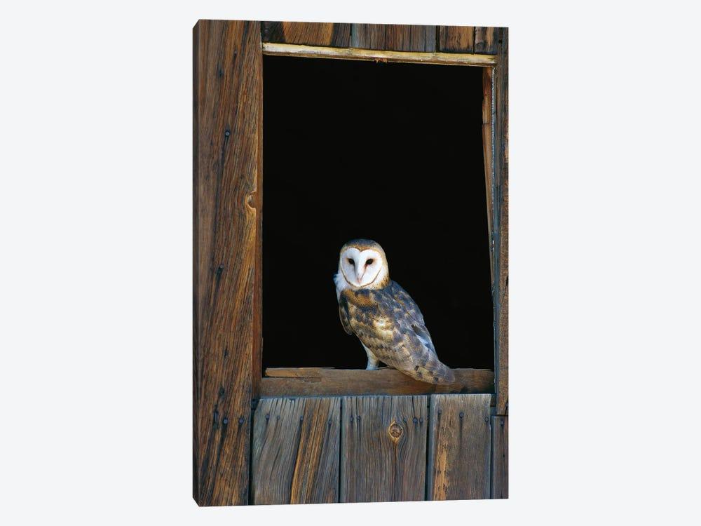 Barn Owl Perching On Barn Window, North America by Konrad Wothe 1-piece Art Print