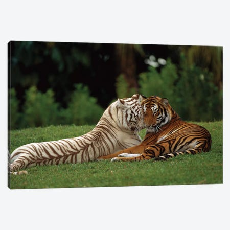 Bengal Tiger Affectionate Pair, One With Normal Coloration And The Other A Melanistic White Morph, India Canvas Print #WOT7} by Konrad Wothe Canvas Artwork