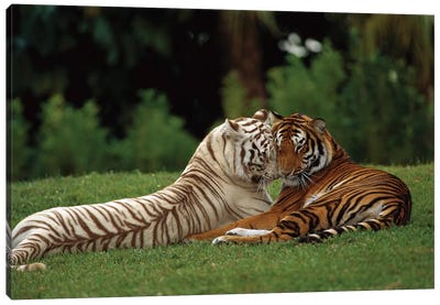 Bengal Tiger Affectionate Pair, One With Normal Coloration And The Other A Melanistic White Morph, India Canvas Art Print