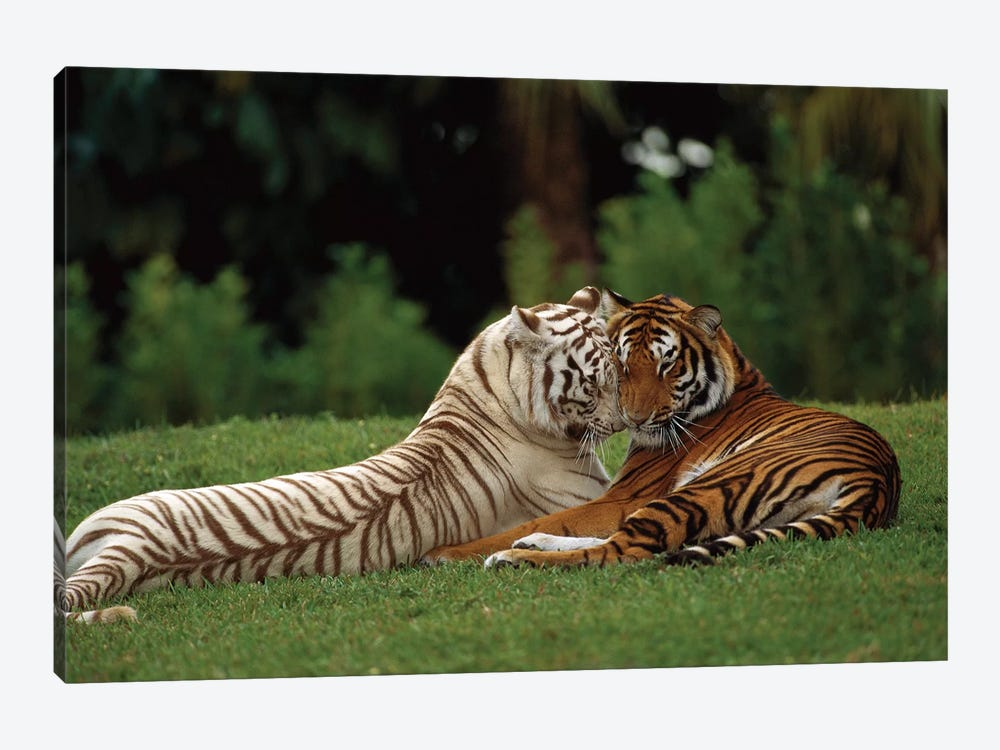 Bengal Tiger Affectionate Pair, One With Normal Coloration And The Other A Melanistic White Morph, India by Konrad Wothe 1-piece Canvas Art