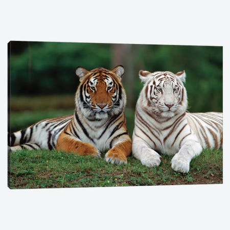 Bengal Tiger Pair, One With Normal Coloration And Other Is A White Morph, India Canvas Print #WOT8} by Konrad Wothe Art Print