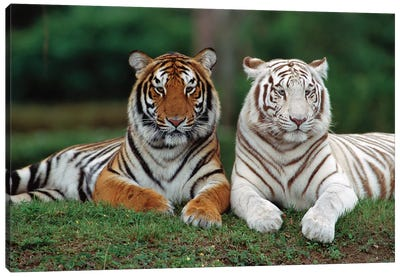 Bengal Tiger Pair, One With Normal Coloration And Other Is A White Morph, India Canvas Art Print