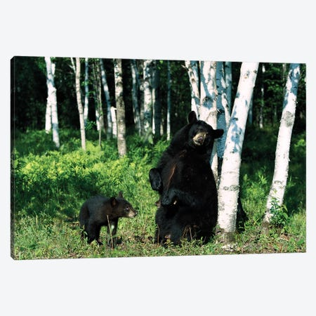 Black Bear Sow Scratching On Birch Tree With Cub Watching, North America Canvas Print #WOT9} by Konrad Wothe Canvas Art Print